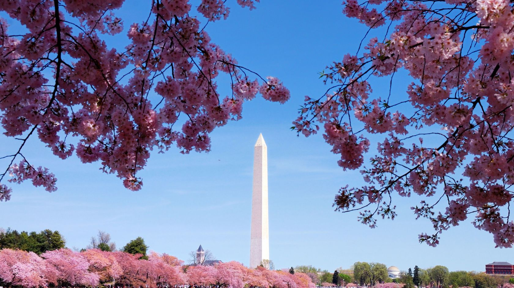 Beautiful pink blossoms bloom near waterfront beneath Washington Memorial in DC
